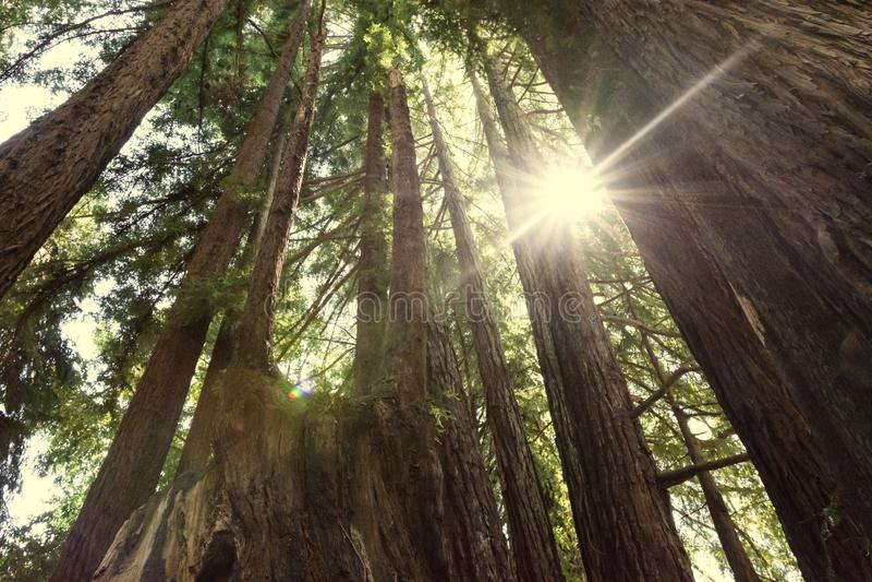 Sol del resplandor solar en una arboleda de los árboles de las secoyas en parque nacional de la secoya imagen de archivo
