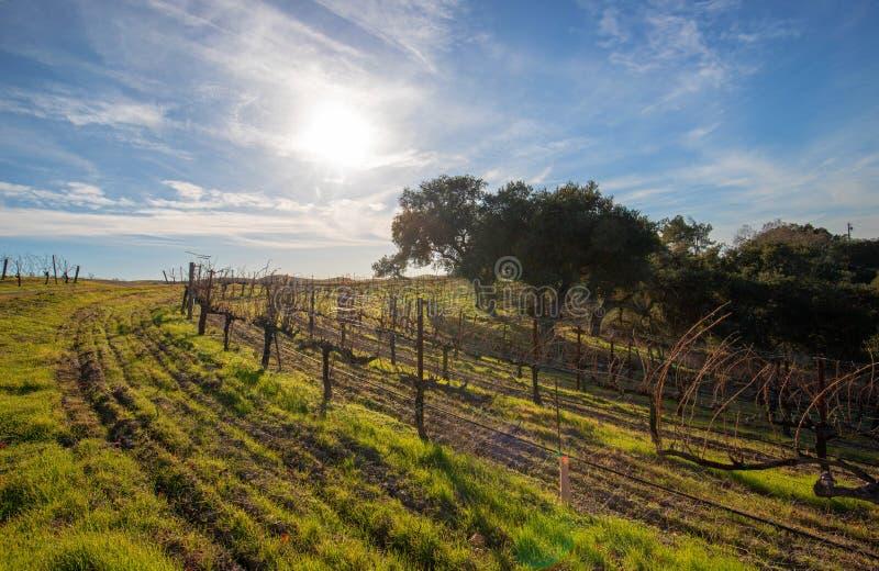 Sol do inverno sobre o vinhedo em Califórnia central EUA imagem de stock