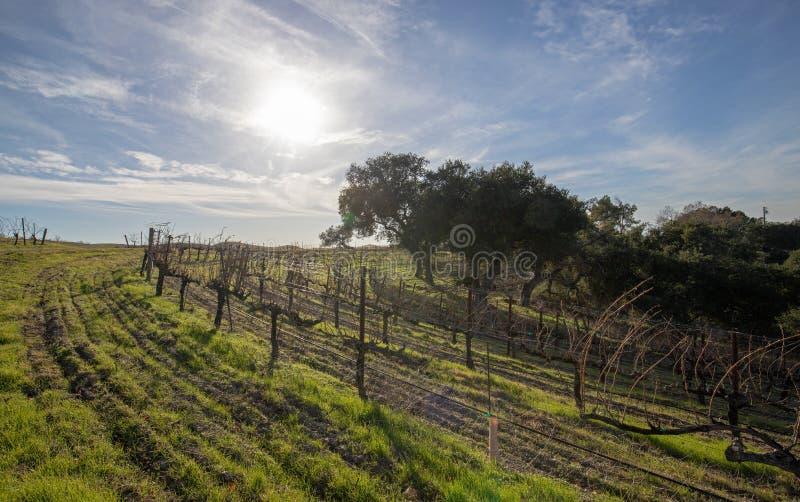 Sol do inverno sobre o vinhedo em Califórnia central EUA foto de stock