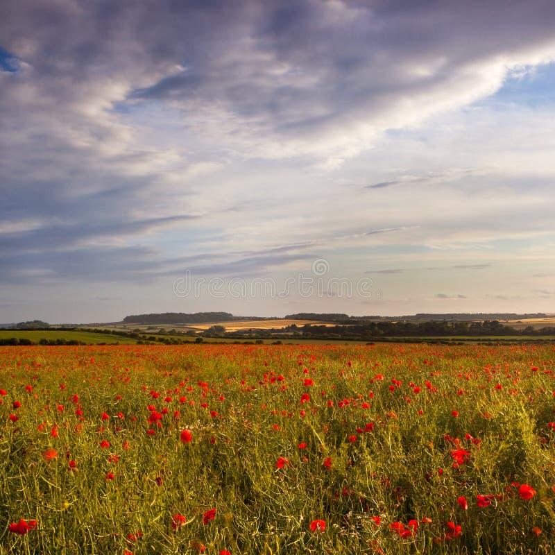 Sol em um campo da papoila de Dorset, Reino Unido da noite atrasada imagens de stock royalty free