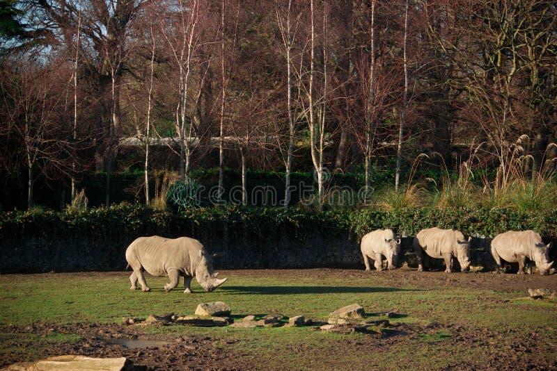 Sol embebendo branco do sul de quatro rinocerontes em um dia seco imagem de stock royalty free