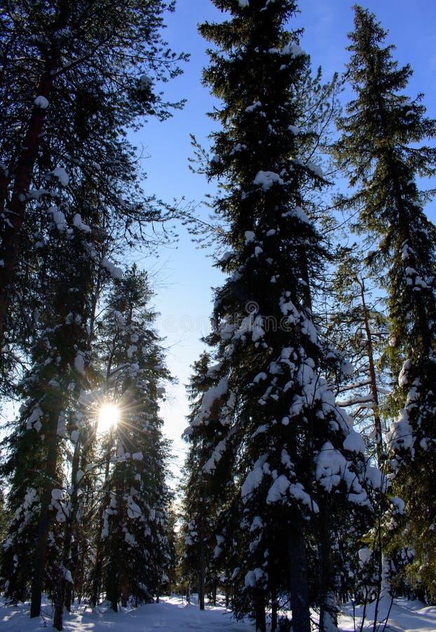 Sol en la bosque-Laponia-Finlandia imagenes de archivo