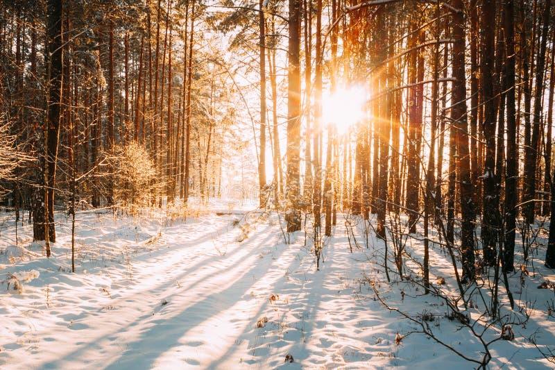 Sol hermosa de Sun de la salida del sol de la puesta del sol en Sunny Winter Snowy Coniferous Forest foto de archivo
