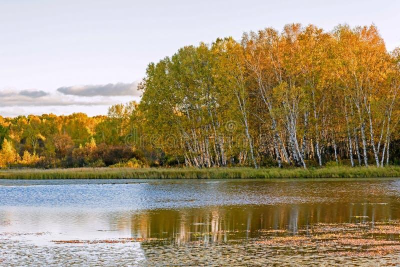 Sol sjö och vit björk i hösten royaltyfri fotografi