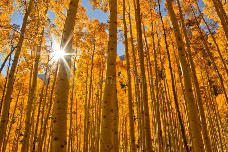 Sol som brister till och med en dunge av Aspen Trees i nedgångsäsongen arkivfoton