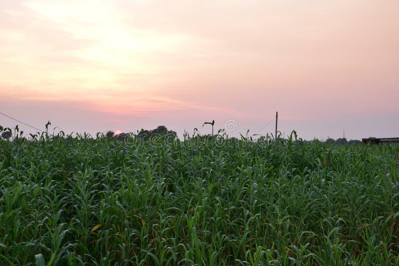 Sol som ner, över och havrelantgård ställer in och färgrik himmel i förgrunden arkivfoto