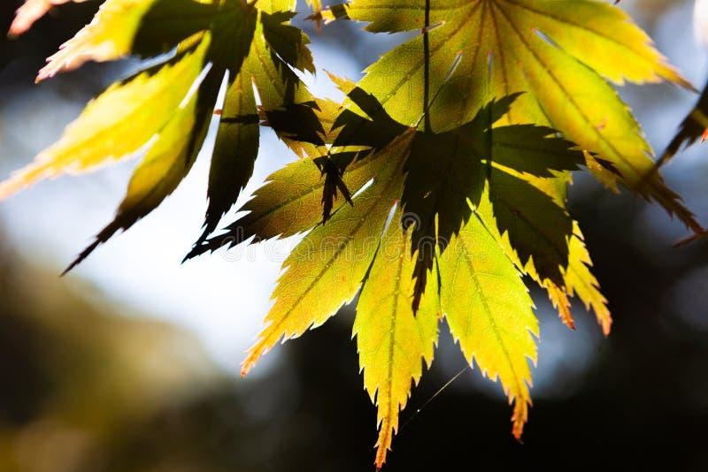 Sol som skiner till och med lönnblad för gul gräsplan royaltyfri fotografi