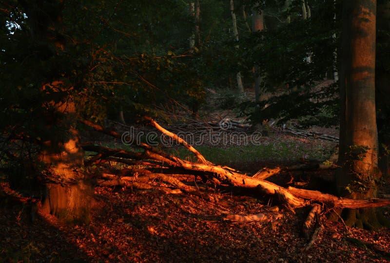 Sol som tänder den röda skogen royaltyfria bilder