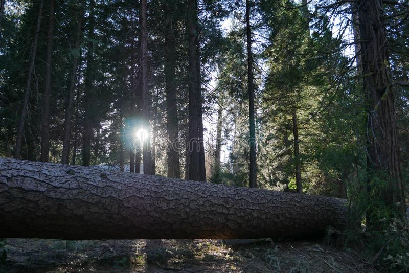 Sol till och med skogen, Yosemite nationalpark arkivbild