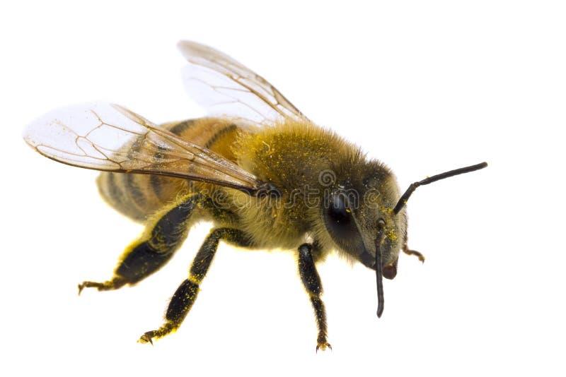Sola abeja aislada en blanco imagenes de archivo