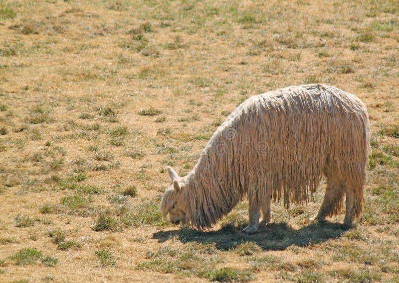 Sola alpaca de la llama foto de archivo libre de regalías
