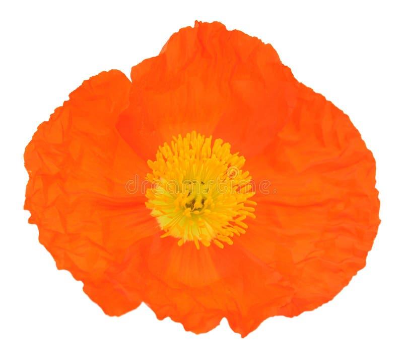 Sola amapola anaranjada fotografía de archivo
