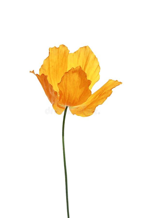 Sola amapola anaranjada en el fondo blanco foto de archivo