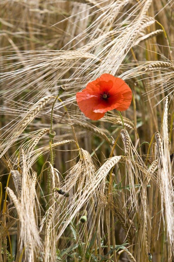 Sola amapola roja en el campo de trigo Francia foto de archivo