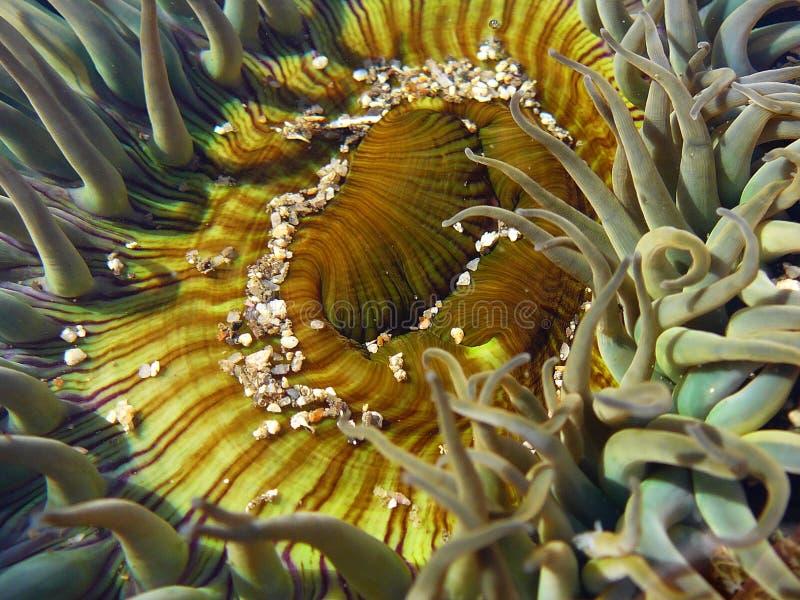 Sola Anemone und Sand lizenzfreie stockfotos