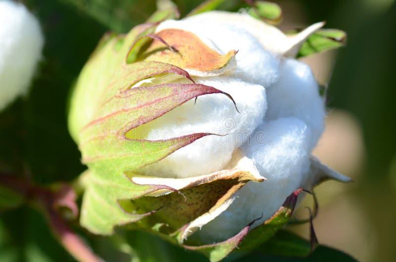 Sola cápsula del algodón lista para la cosecha imagenes de archivo