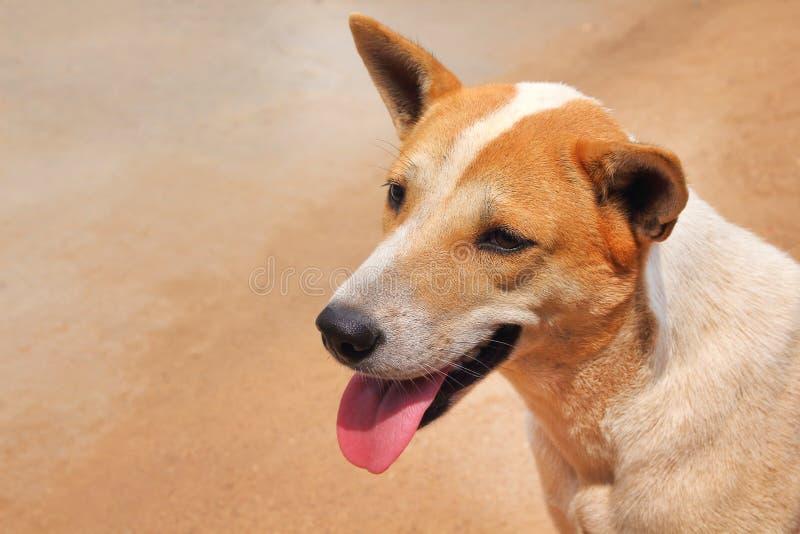 Sola cabeza joven del marrón del asiático y blanca de perro con la cara y la lengua sonrientes hacia fuera de la boca en fondo de imágenes de archivo libres de regalías
