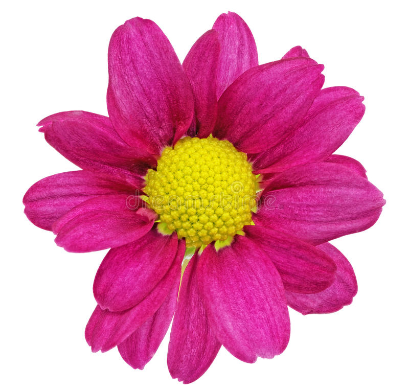 Sola dalia roja violeta hermosa flowers.?loseup fotografía de archivo libre de regalías