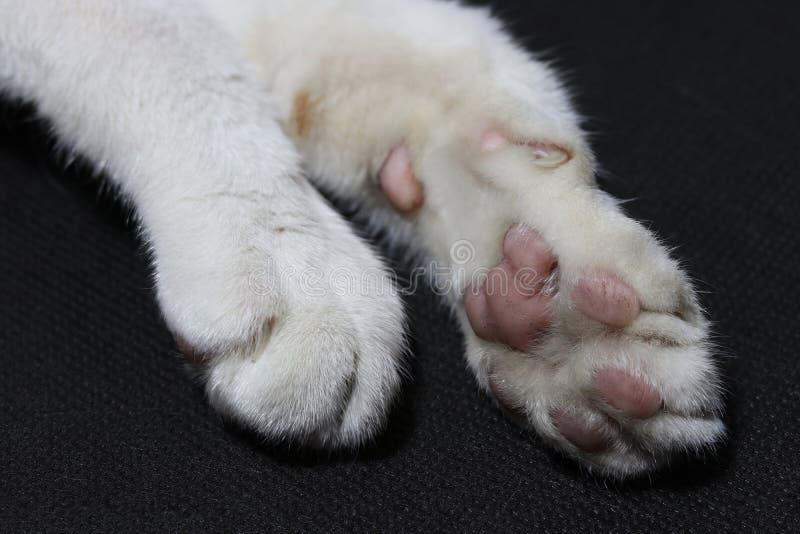 Sola do pé e do tolo do gato branco no assoalho preto do fundo Pé de gato imagem de stock