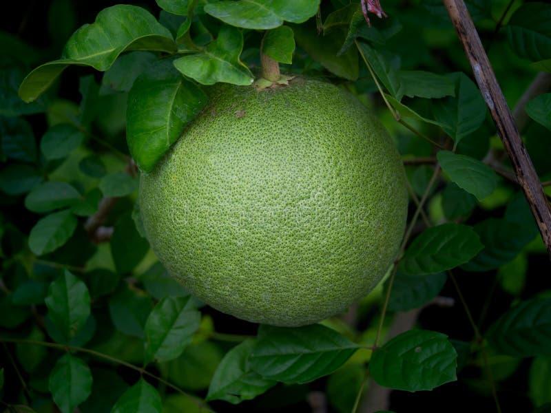 Sola ejecución de la fruta del pomelo foto de archivo libre de regalías