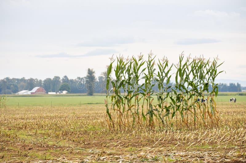 Sola fila del maíz en un campo foto de archivo libre de regalías