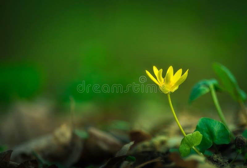 Sola flor amarilla con un fondo verde imágenes de archivo libres de regalías