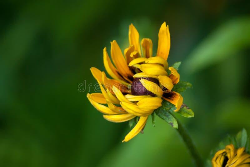 Sola flor amarilla de Rudbekia apenas que se abre imagen de archivo