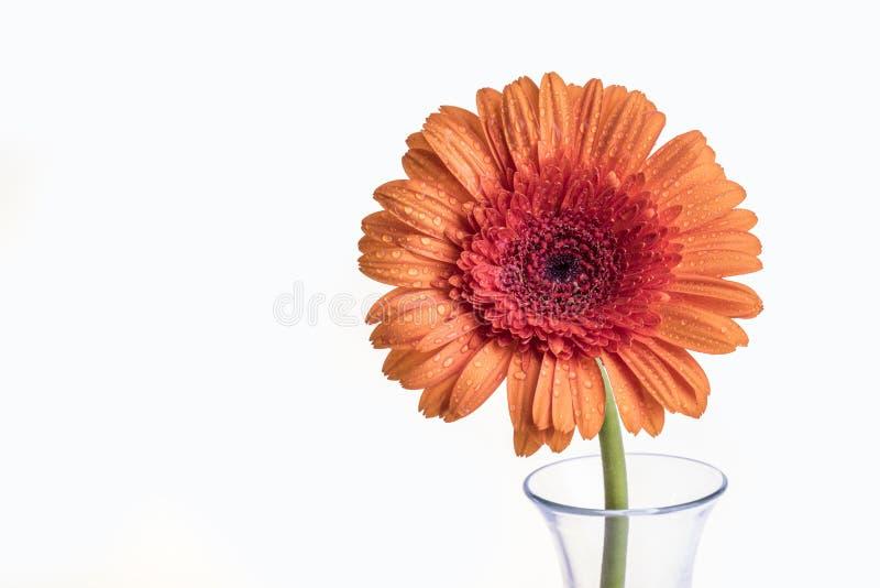 Sola flor anaranjada de Gerber en un florero fotografía de archivo