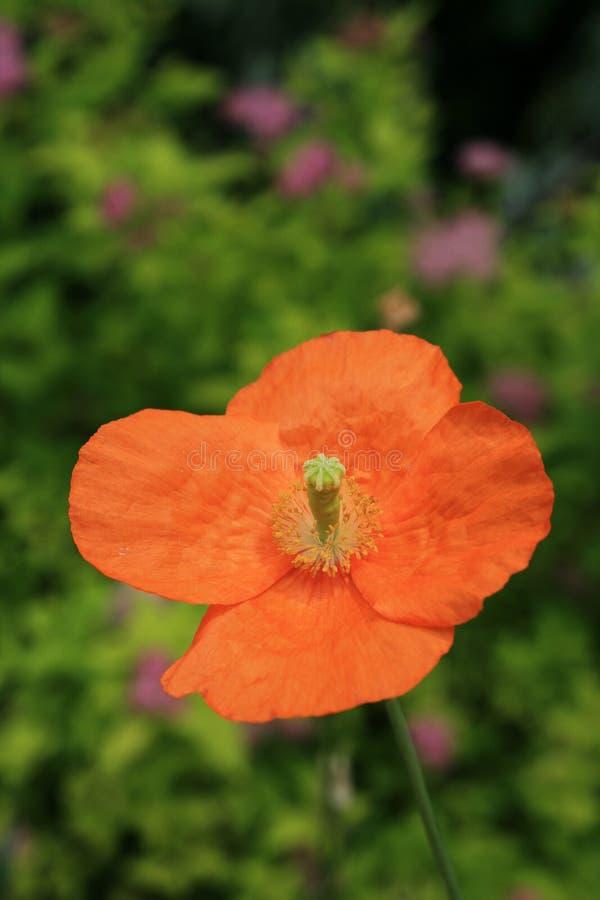 Sola flor anaranjada de la amapola fotografía de archivo libre de regalías