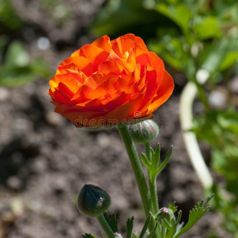 Sola flor anaranjada de la amapola de Islandia foto de archivo