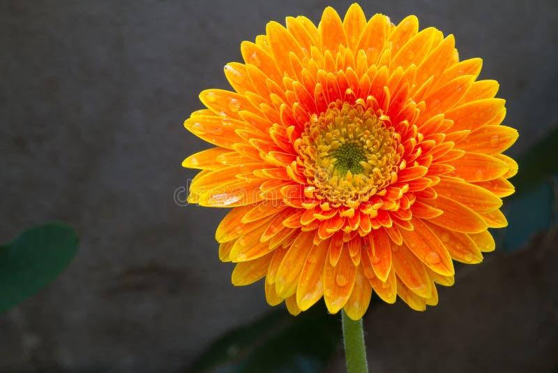 Sola flor anaranjada del gerbera en fondo imágenes de archivo libres de regalías
