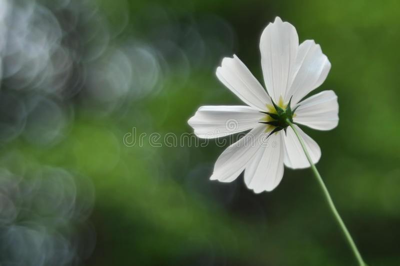 Sola flor blanca del cosmo imágenes de archivo libres de regalías