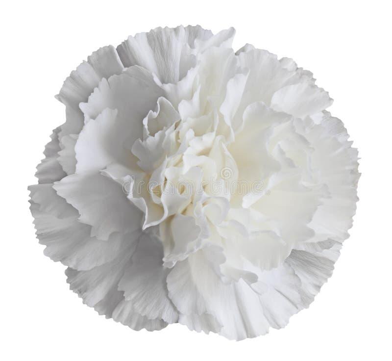 Flor blanca del clavel imagen de archivo libre de regalías