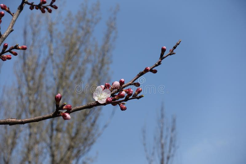 Sola flor blanca y brotes cerrados en la rama del albaricoque contra el cielo azul imagen de archivo