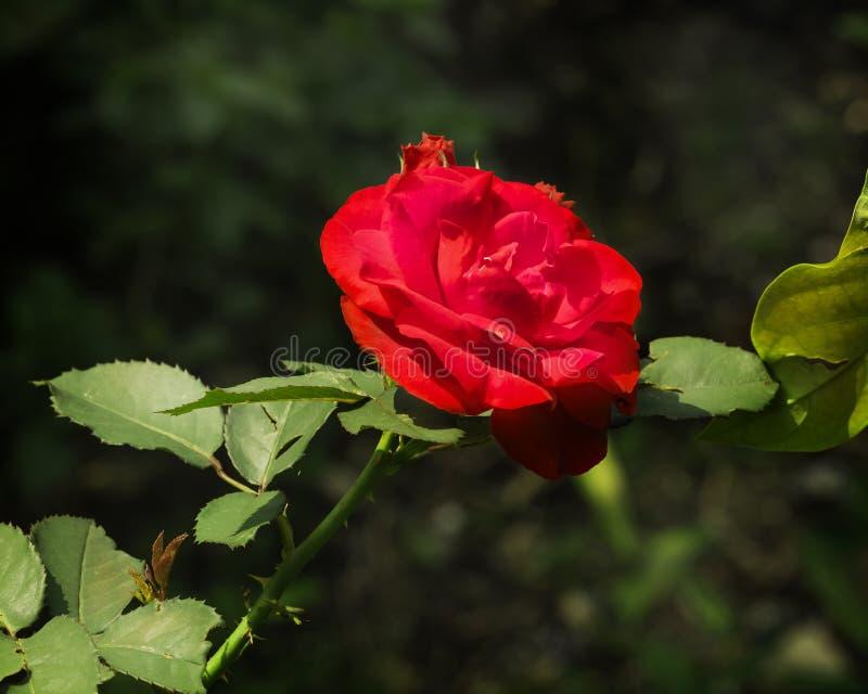 Sola flor color de rosa roja y brote crudo imagenes de archivo