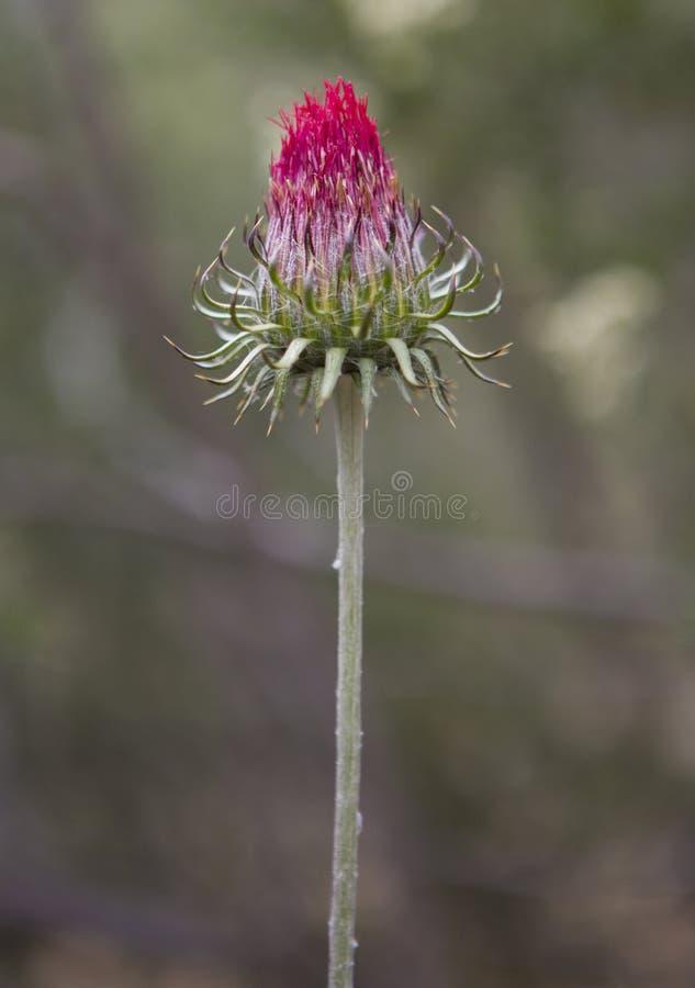 Sola flor con el fondo borroso en California fotografía de archivo libre de regalías