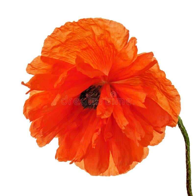 Sola flor de la amapola aislada en el fondo blanco imagen de archivo libre de regalías