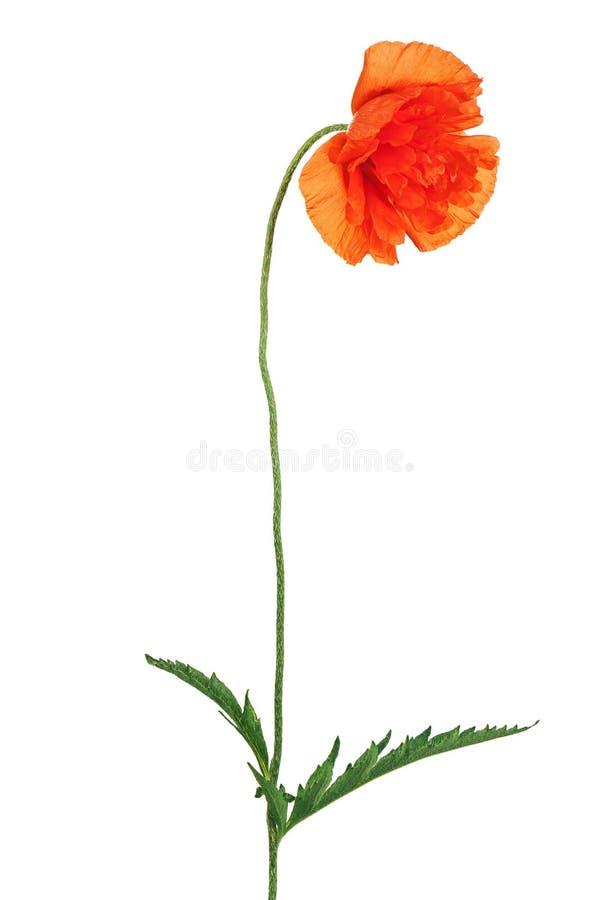 Sola flor de la amapola aislada en el fondo blanco foto de archivo libre de regalías