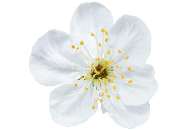 Sola flor de la cereza. Aislado en el fondo blanco. imágenes de archivo libres de regalías