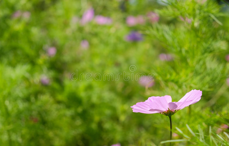 Sola flor de la lavanda en un campo imágenes de archivo libres de regalías