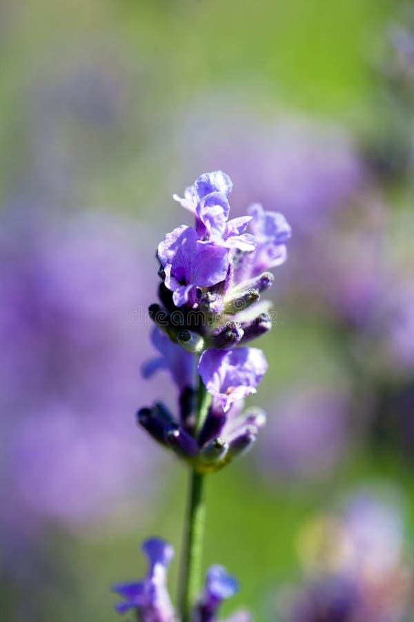 Sola flor de la lavanda violeta que florece en macro del jardín imagenes de archivo