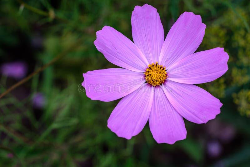Sola flor de la opinión superior del cosmos de la púrpura fotografía de archivo libre de regalías