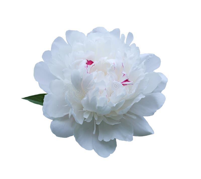 Sola flor de la peonía fotos de archivo libres de regalías