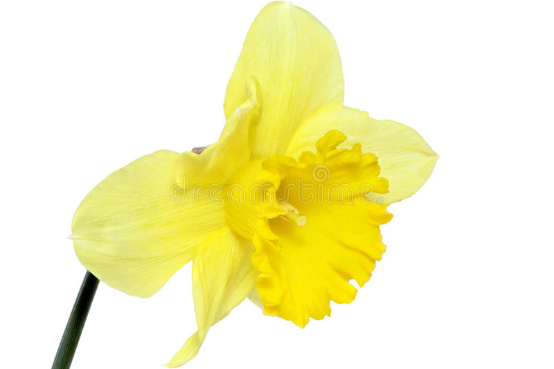 Sola flor de la primavera hermosa: narciso amarillo (narciso) foto de archivo