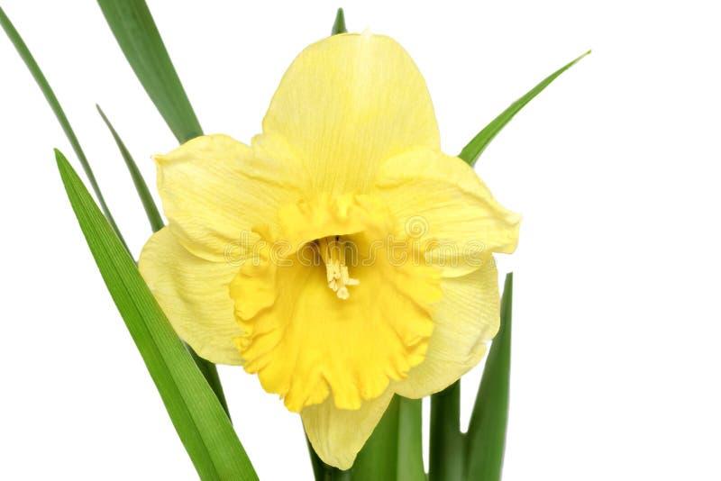 Sola flor de la primavera hermosa: narciso anaranjado (narciso) foto de archivo