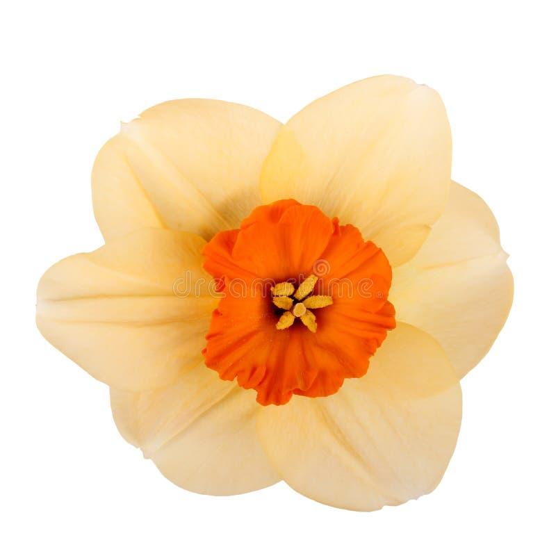 Sola flor de un cultivar del narciso foto de archivo