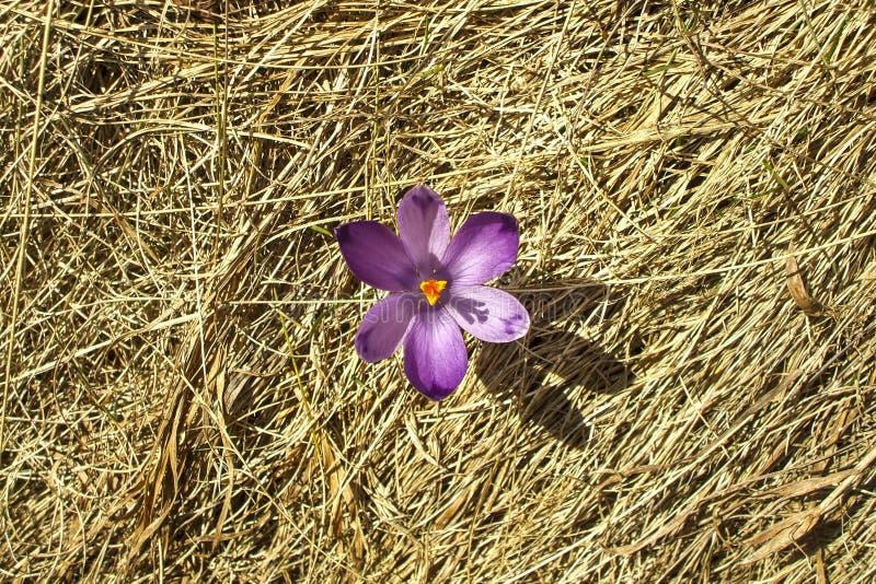 Sola flor del azafrán de la primavera fotos de archivo