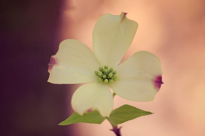 Sola flor del cornejo fotos de archivo libres de regalías