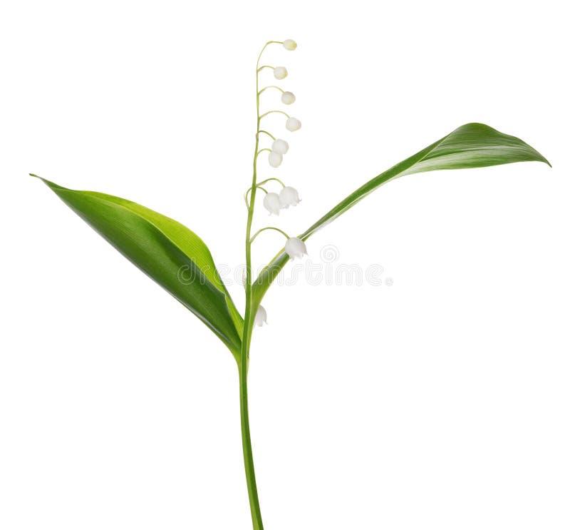Sola flor del lirio de los valles aislada en blanco imagen de archivo