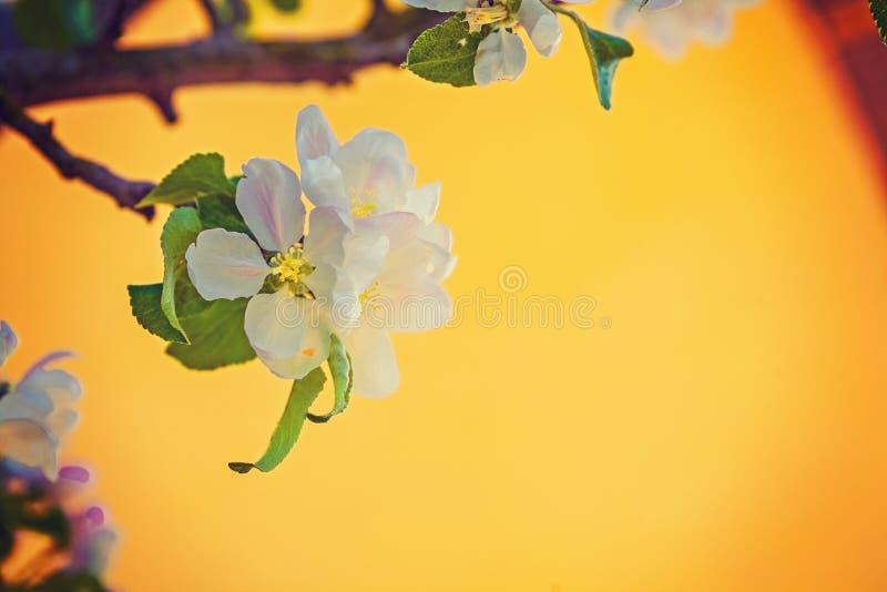 Sola flor del manzano en fondo amarillo imágenes de archivo libres de regalías